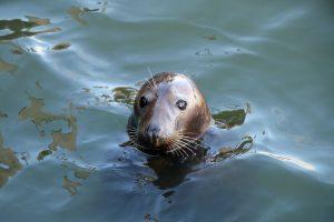 Die Kegelrobbe Willi wartete bereits bei der Ankunft im Hafen von Hörnum auf uns.